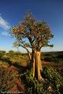 10-arbol-elefante-valle-omo-etiopia